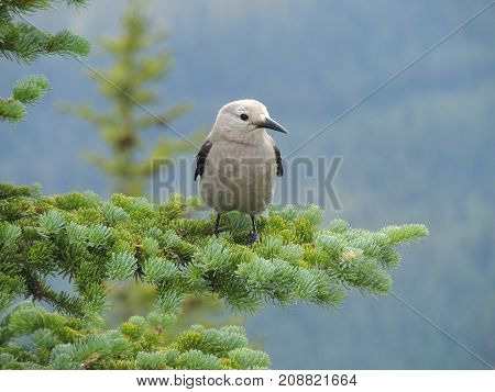 A Clark's nutcracker (Nucifraga columbiana), sometimes referred to as Clark's crow or woodpecker crow, is a passerine bird in the family Corvidae, seen Hiking around Lake Louise, the Tea House, Lake Agnes, Lakeview trail, Plain of six glaciers, Mirror Lak