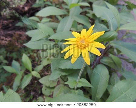 Arnica Flower, Heartleaf, close up macro in Banff National Park, Canada