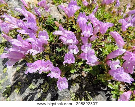 Closeup of purple lavender flower bunch in Banff National Park Canada