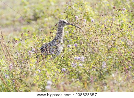 Eurasian curlew, numenius arquata, bird walking in the high grass, Neuchatel lake, Switzerland