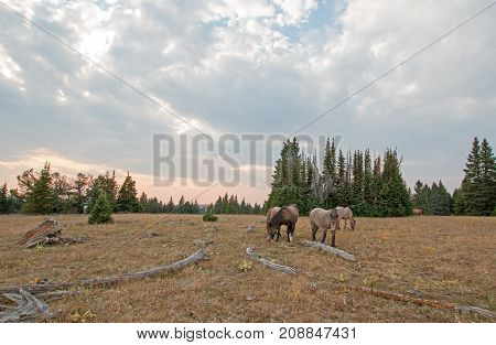 Small Herd (band) Of Wild Horses Grazing On Dry Grass Next To Deadwood Logs At Sunset In The Pryor M