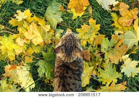 Cute cat seats on the fallen yellow maple leaves. Top view.