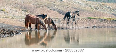 Herd Of Wild Horses Reflecting In The Water While Drinking At The Waterhole In The Pryor Mountains W