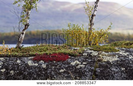 Alpine bearberry, mountain bearberry on a cliff this side a lake. Mountain in the background, autumn.