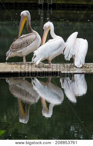 a lot of pelicans sitting in the water little pond