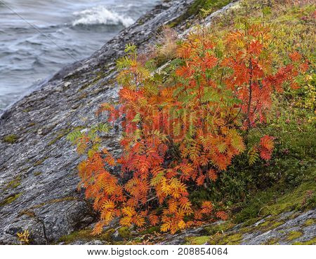 Colorful rowan bush by the lakeside. Rocky background.