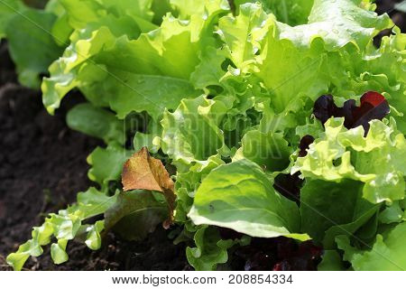Fresh green and red curly lettuce growing in bed. Salad background. w .