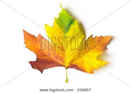 Coloured Maple Leaf