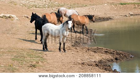 Apricot Dun Pale White Buckskin Stallion With Herd (small Band) Of Wild Horses At The Waterhole In T