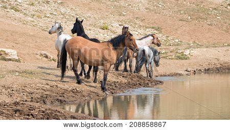 Dun Buckskin Mare With Herd Of Wild Horses At The Waterhole In The Pryor Mountains Wild Horse Range