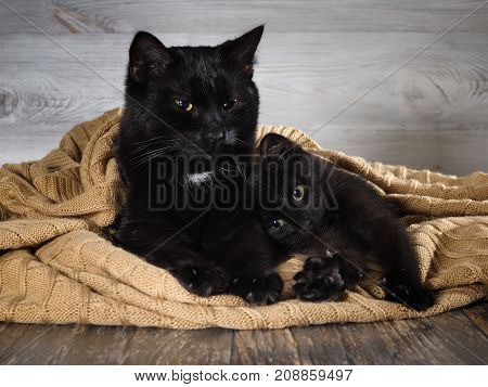 Very similar black cat and kitten are hiding under a warm blanket