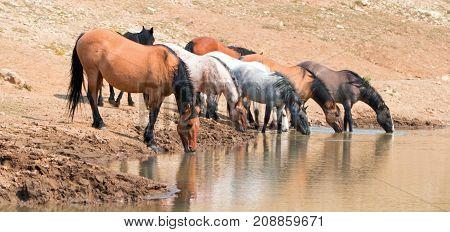Dun Buckskin Mare Drinking At Waterhole  With Herd Of Wild Horses In The Pryor Mountains Wild Horse