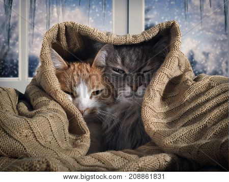 Two cats hide under the blanket. Outside the winter snow. The concept of home comfort security warmth