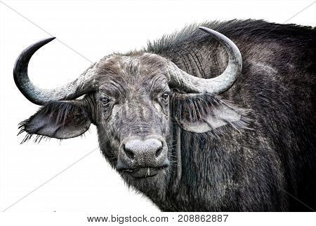 African buffalo close-up isolated on white background