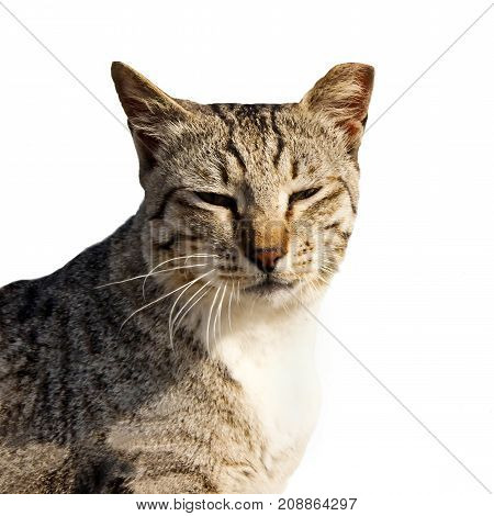 Portrait of cat close up isolated on white background