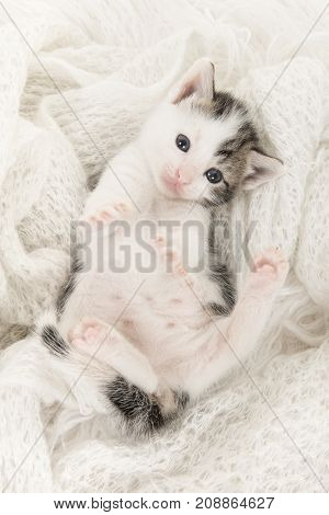Cute tabby and white baby cat lying on its back playing on a off white woolen background in a vertical image