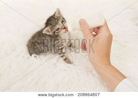 Three weeks old tabby kitten being hand fed with a bottle of milk lying on a white fur background seen from a high angle view