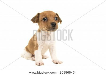 Cute brown and white jack russel terrier puppy sitting isolated on a white background
