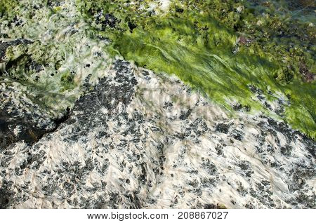 Sea rock with fresh green and white dried seaweeds closeup