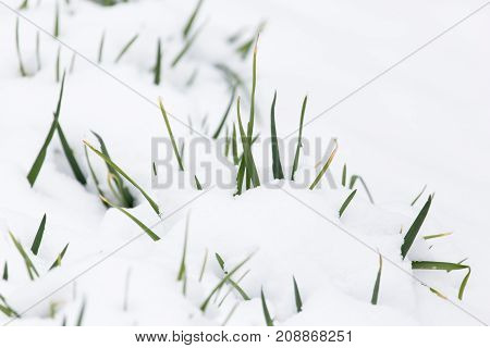 green onions in the snow in the winter