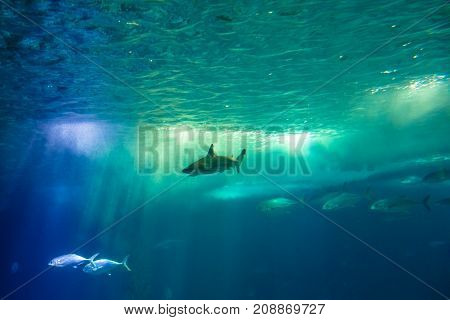 Undersea scene background. A shark and tropical fishes in deep blue water. Undersea marine life. Copy space.