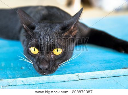 close up of black cat with yellow eye
