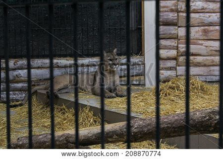 Yalta, Crimea - 11 July, Puma in the cage, 11 July, 2017. Zoo and animals on the territory of the hotel Yalta Intourist.