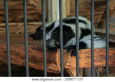 Yalta, Crimea - 11 July, Beast resting in the cage, 11 July, 2017. Zoo and animals on the territory of the hotel Yalta Intourist.
