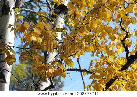 Oak tree with golden foliage and green larch on a background of blue sky / Autumn landscape in a park / White trunk of a birch on a background of yellow foliage of an oak