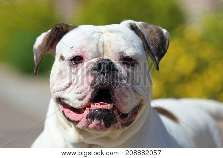 Portrait of stocky strong-looking American Bulldog in the yard of the house