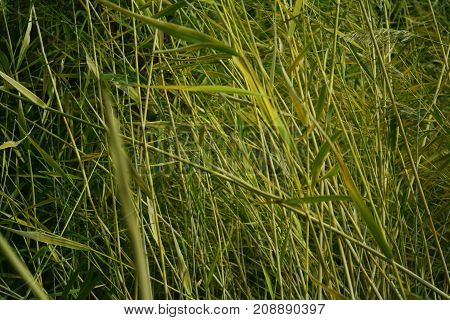 green thickets of reeds near the lake