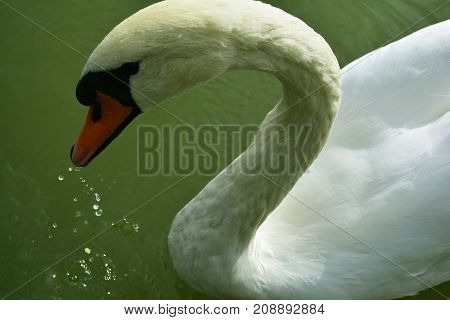 graceful curve of the neck of a white Swan floating in the pond