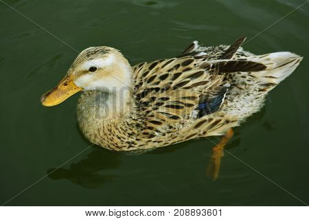 spotted this morning floating in a pond , poultry