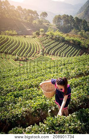 Young Asian women from Thailand picking tea leaves on tea field plantation in the morning at doi ang khang national park Chiang Mai Thailand. Beautiful Asia female model in her 20s.