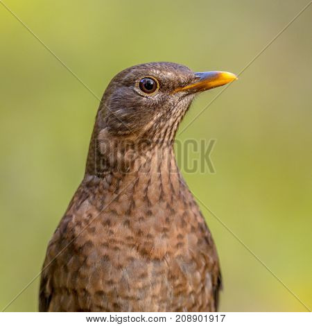 Female Blackbird Headshot