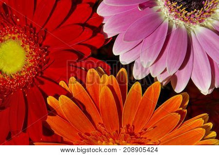 Three flowers, orange, red, pink. background. Beauty of three flowers. Three gerbera daisy flowers close-up view.
