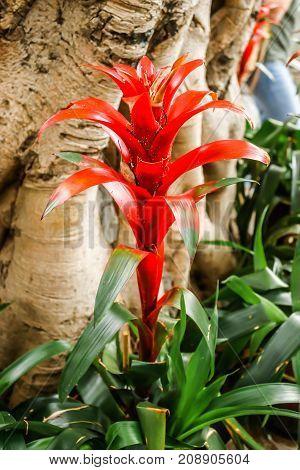 Closeup of Single Red bromeliads (Guzmania ligulata) on flower bed