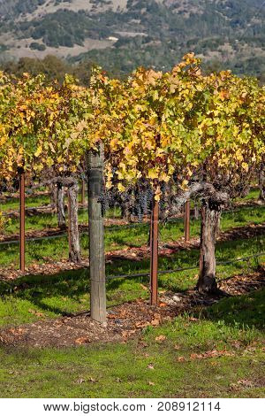 Several groups of ripe purple grapes hang on vines displaying autumn leaves with a mountain background in Napa Valley California.