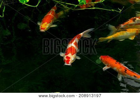 Carps Fish Or Carps Swim In Pond, Movement Of Swimming And Space, Vivid Color , Selective Focus,girl