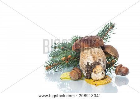 Mushroom Boletus isolated on White Background. Autumn Cep Mushrooms.