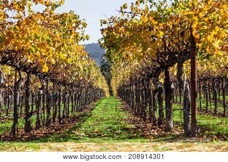 Looking between two rows of manicured grape vines with bright autumn leaves lit by sunshine in Napa Valley California.