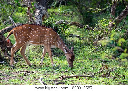 A herd of spotted deer or Axis graze on fresh green grass in a forest