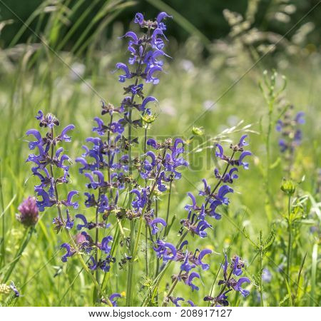 closeup shot of a meadow with lots of blue meadow clary flowers