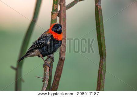 Wild southern red bishop or Euplectes orix in Tanzania