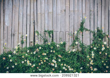 Beautiful Narrowleaf Zinnia on bamboo wall use foe background.