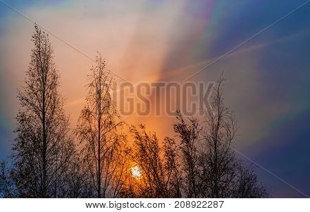 Autumn landscape. Early sunrise on a dark blue sky on the background of birch trees darkened in the gloom of morning