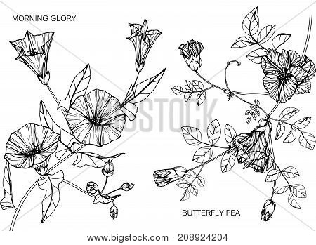 Morning glory and Butterfly pea flower drawing. Black and white with line art illustration.