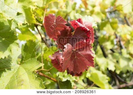 Red grape leaves among green leaves of grapes.
