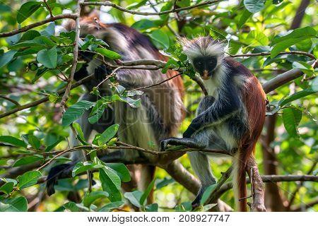 Zanzibar red colobus or Procolobus kirkii in Jozani forest, Tanzania. Monkeys in the jungle