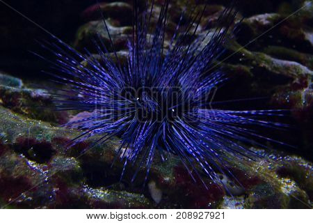 Live specimen of a reef urchin Echinometra viridis underwater